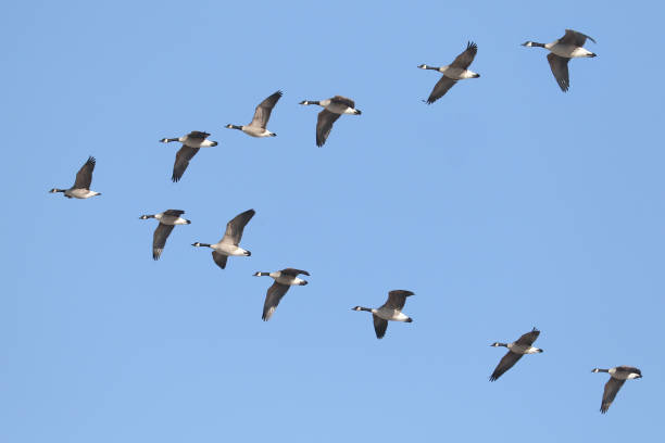 Canada Geese flying in formation v shaped of geese flying over head canada goose stock pictures, royalty-free photos & images