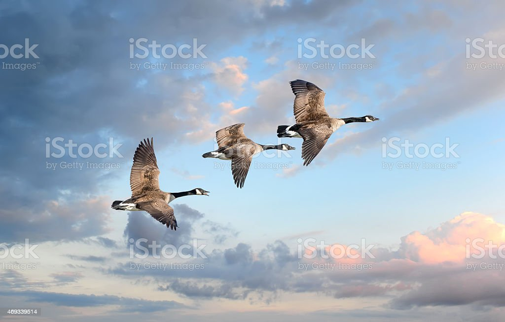 Bernaches du Canada volant dans les nuages - Photo