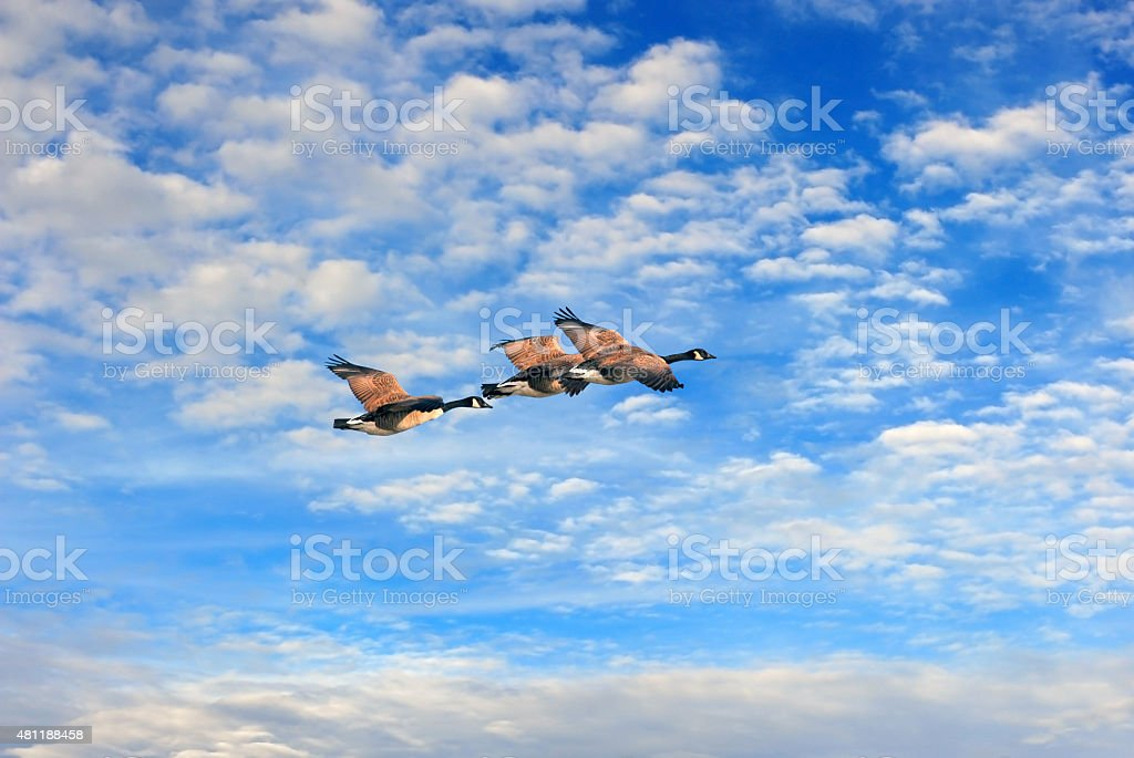 Canada geese flying in the clouds stock photo