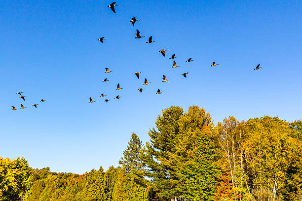 canada geese flying in v-shape formation at fall - vogel herfst stockfoto's en -beelden