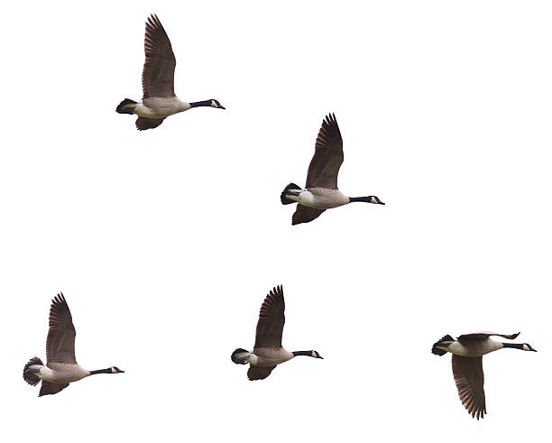 Canada Geese Flying on a White Background Group of Canada Goose (Branta canadensi) flying in formation on a white background lake waterfowl stock pictures, royalty-free photos & images