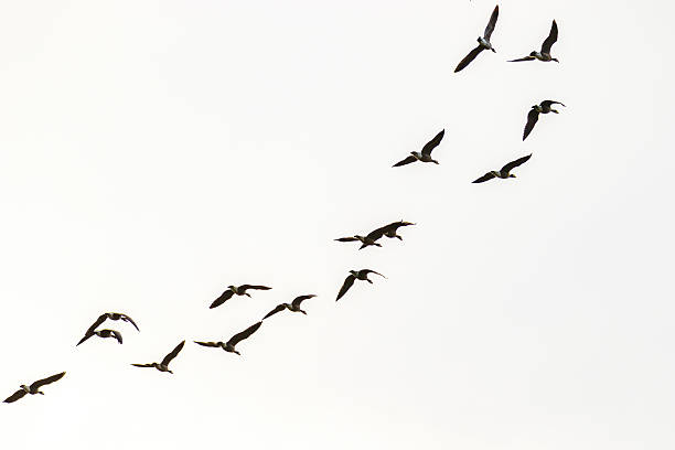 Canada geese flying picture id518230018?b=1&k=6&m=518230018&s=612x612&w=0&h=wjknnslehon9sdlvw2ikn hju2odsm9e3svujali0ge=