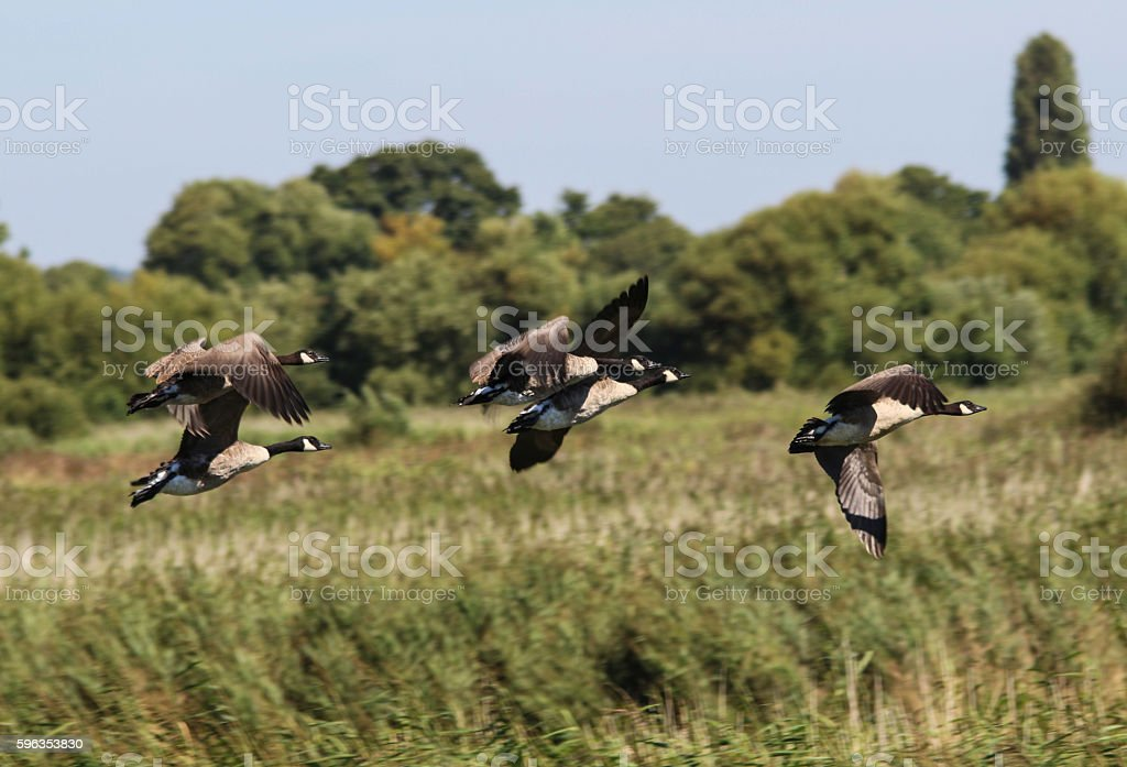 Canada Geese Flying royalty-free stock photo