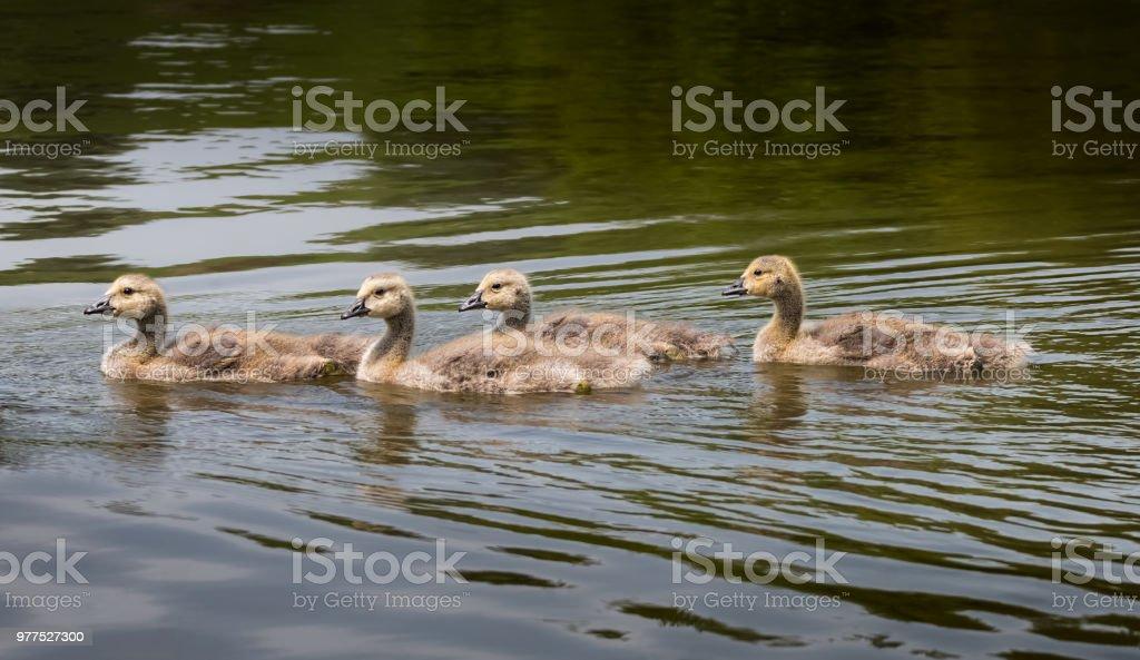 Canada geese goslings. stock photo