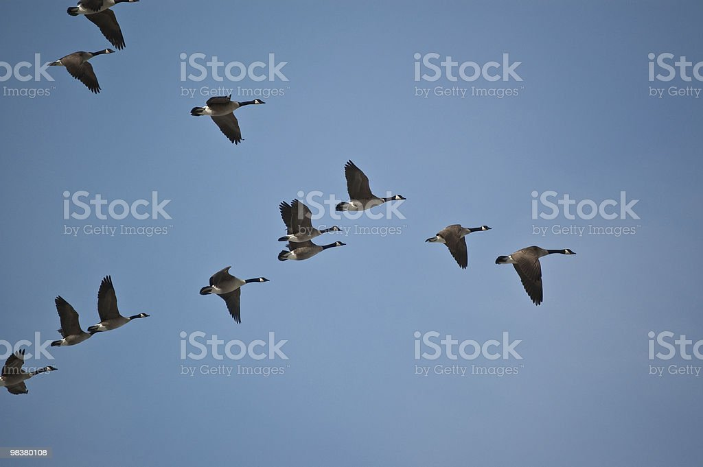 Canada Geese in Flight royalty-free stock photo