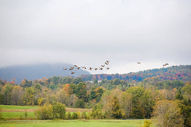 Canada Geese In The Autumn Sky stock photo
