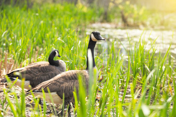 Canada Geese in the Wild Two Canana Geese walking towards the water through tall grass. sdominick stock pictures, royalty-free photos & images