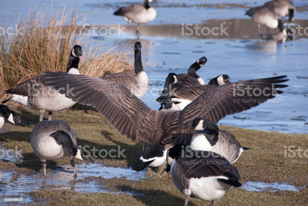 Canada geese in winter stock photo