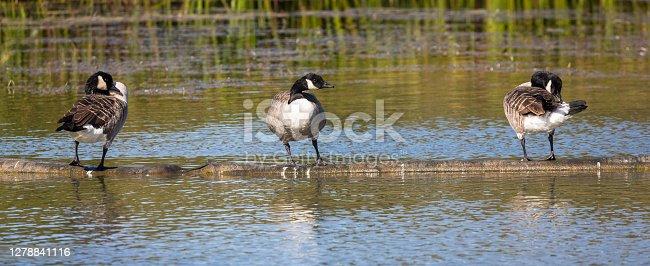 Three Canada Geese, Caen Hill, Kennet & Avon Canal, Wiltshire, England.