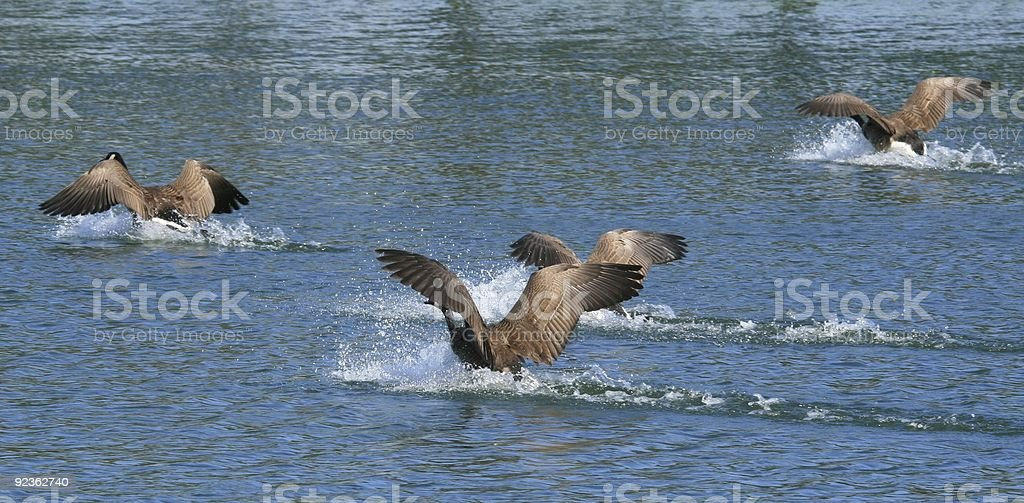 Canada Geese Landing on Water royalty-free stock photo