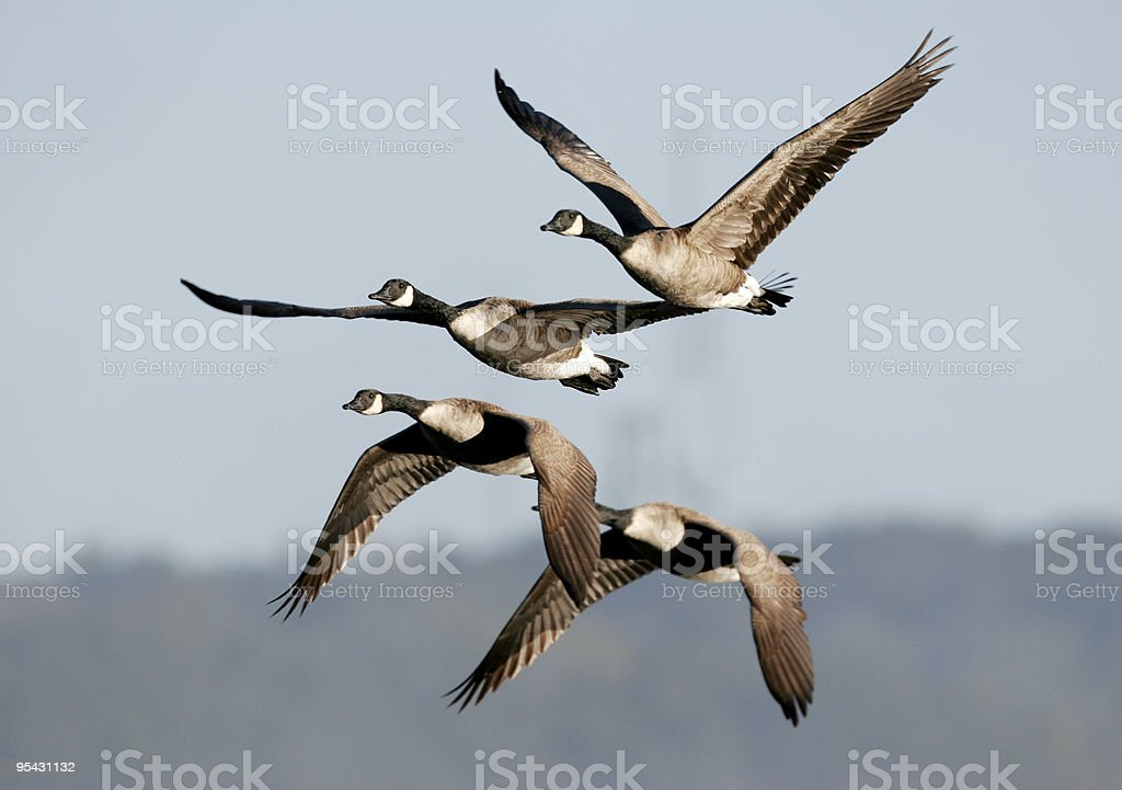 Canada Geese Migrating stock photo