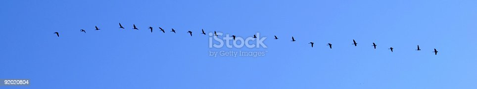 istock Canada Geese migrating South 92020804