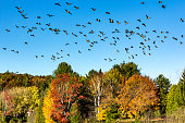 istock Canada geese migration 864513556