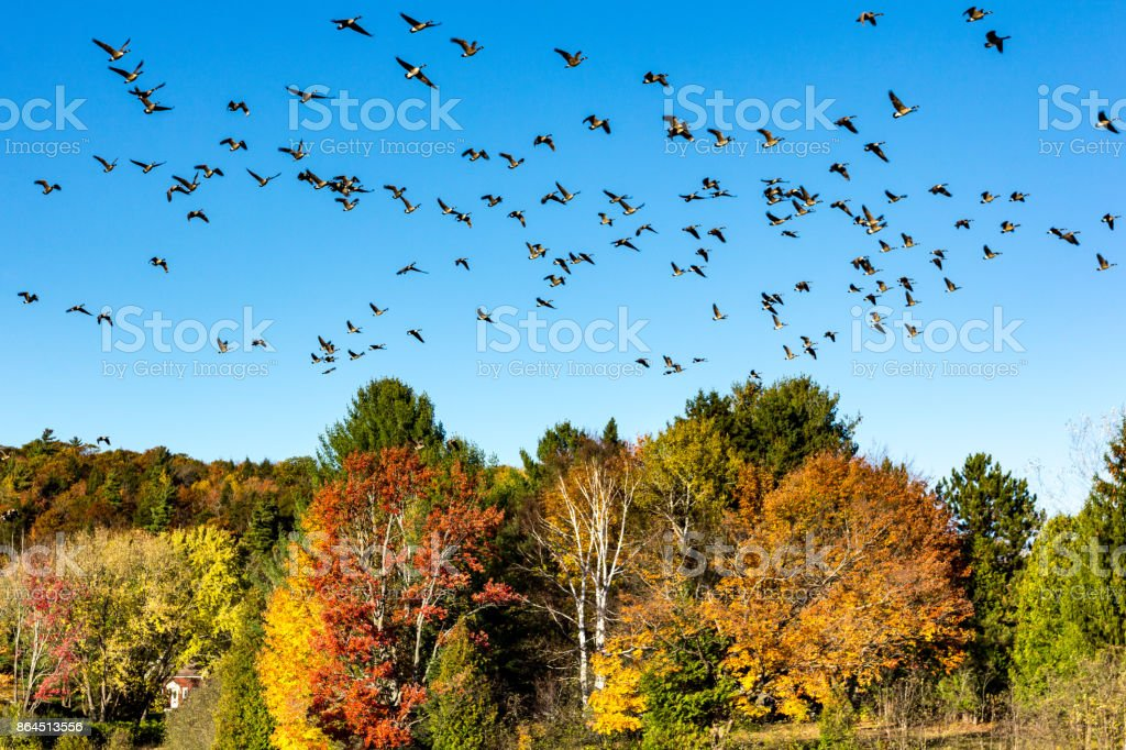 Canada geese migration stock photo