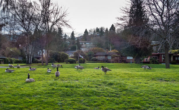 Canada Geese Near Lake 6 A group of Canada Geese feed near Lake Washington in Seattle. canada goose stock pictures, royalty-free photos & images