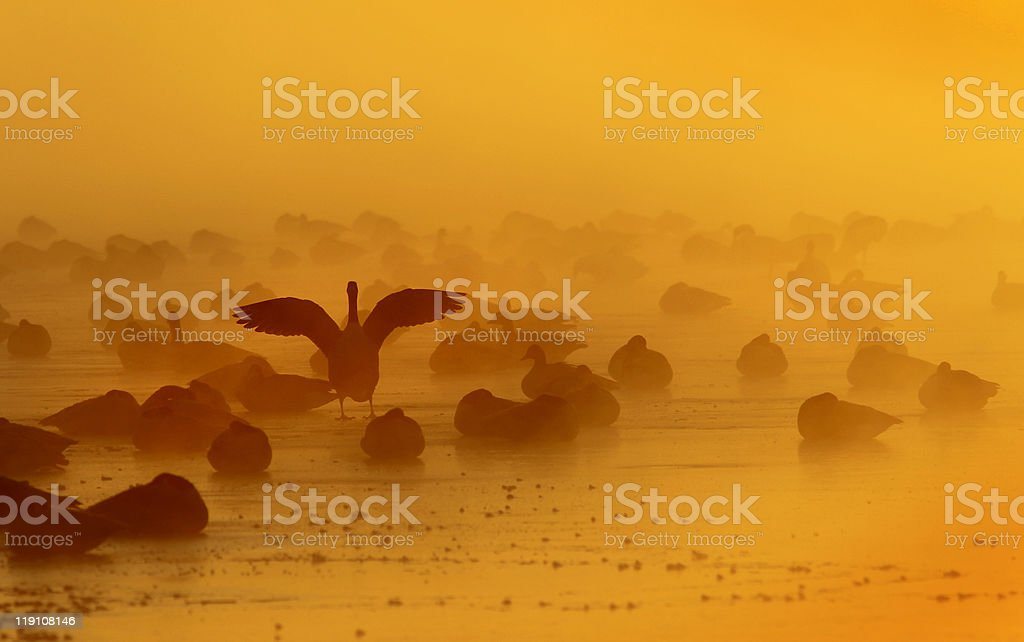 Canada geese on frozen lake at sunrise stock photo