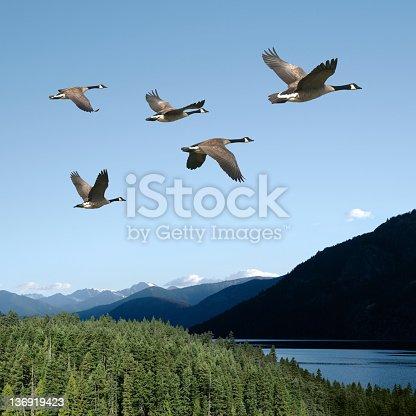istock XXL canada geese 136919423