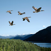 canada geese flying over lake with bright sky, square frame (XXL)