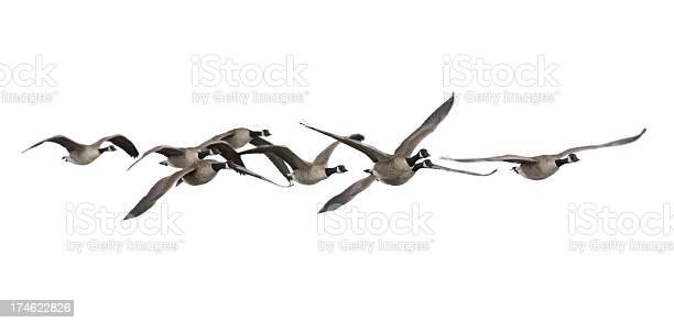 Canada geese picture id174622826?b=1&k=6&m=174622826&s=612x612&h=1ztbgyywvdb6hm84ga6 4p fe0s1xn2d1pxq9gu9vcu=