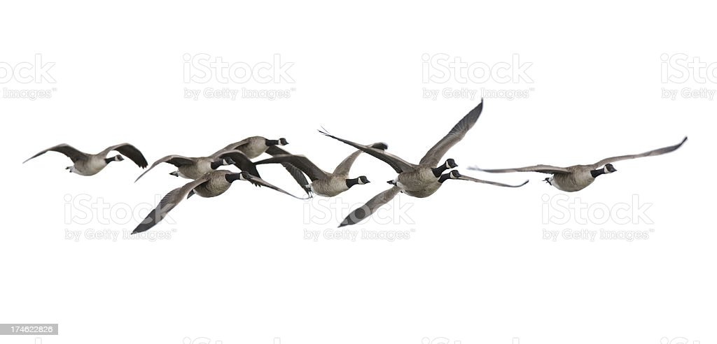 Canada Geese (Branta canadensis) stock photo