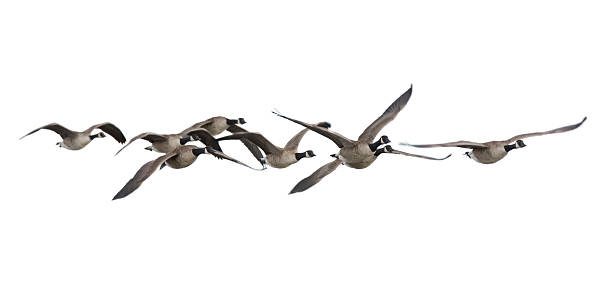 Canada Geese (Branta canadensis) Canada Geese goose bird stock pictures, royalty-free photos & images