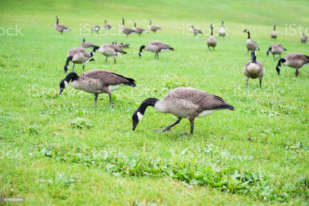Canada Geese - Photo