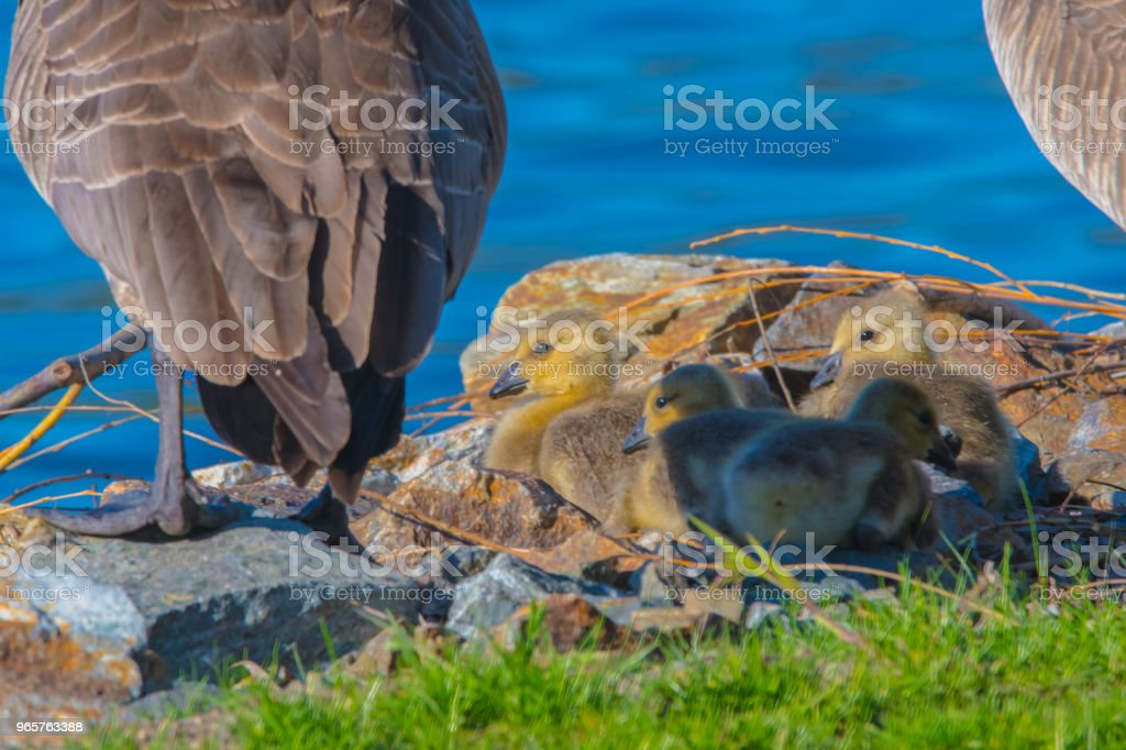 Canada Geese - Royalty-free Animal Stock Photo