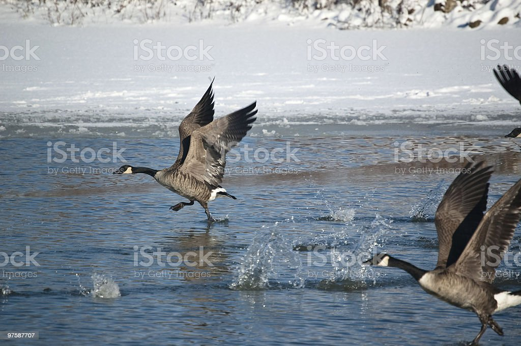 Canada Geese Running Across the Surface of a Pond royalty-free stock photo