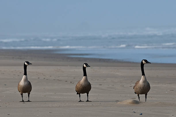 Canada Geese Standing on the Beach stock photo