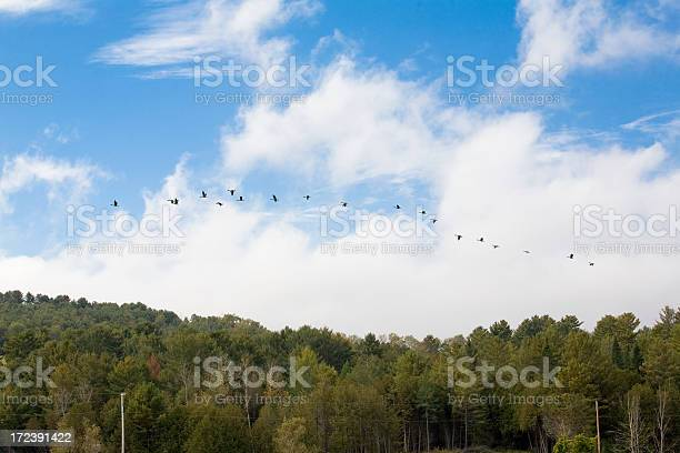 Photo of Canada Geese Take Flight