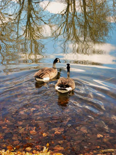 canadese ganzen neemt laatste zwemmen voor de winter - vogel herfst stockfoto's en -beelden