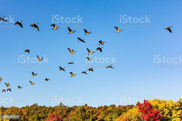 Canada geese taking off in a fall landscape picture id618637072?b=1&k=6&m=618637072&s=612x612&h=ltk05zx5mjqp5sauxntuubqax3as72ccmio2bhttxhu=