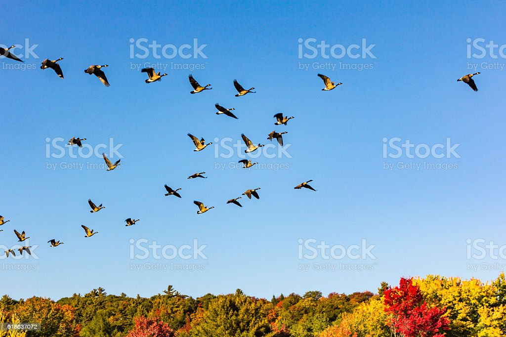 Canada geese taking off in a fall landscape stock photo