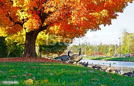 Canada geese congregating on the riverbank of canal in Peterborough, Ontario, Canada