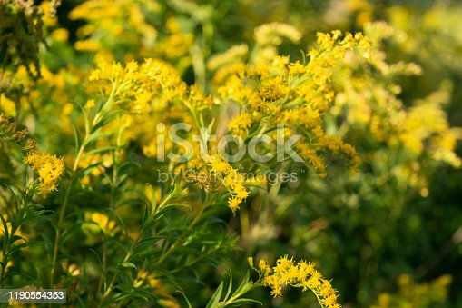 Canada goldenrod, rag weed, ragweed, golden rod or solidago canadensis flowers in summer garden close up with selective focus. Trendy aspen gold flower background, invasive weed, strong allergen