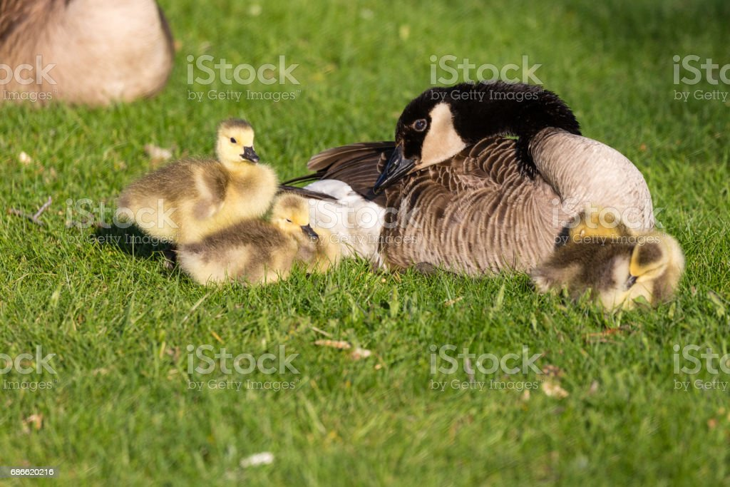 Canada goose (branta canadensis) and goslings getting ready for a nap royalty-free stock photo