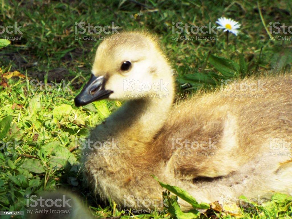 Canada Goose Baby Gosling royalty-free stock photo