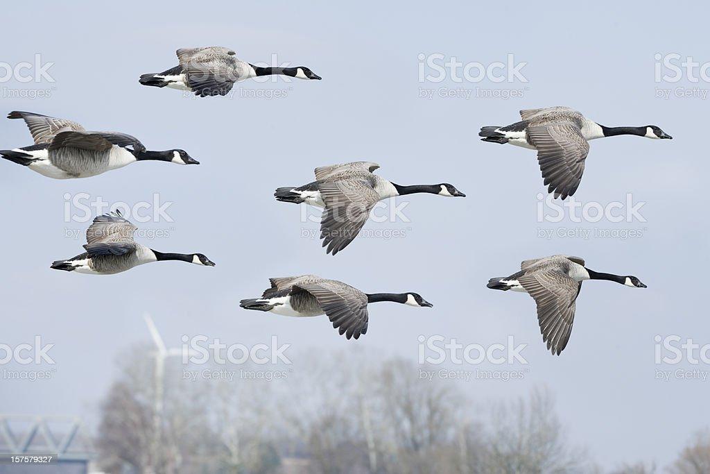 Canada goose Branta canadensis (image size XXL) royalty-free stock photo