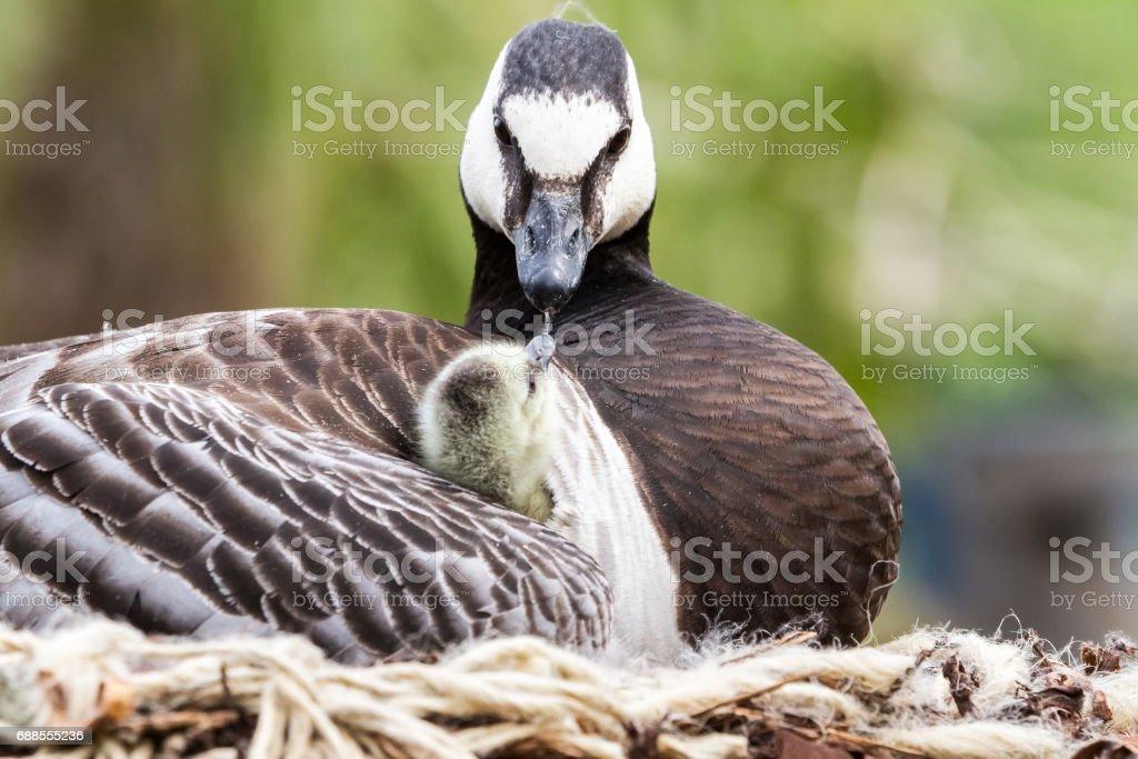 Canada goose, Branta canadensis - Photo
