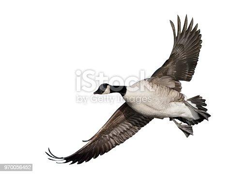 Canada goose, Branta canadensis, single bird in flight, Gloucestershire, January 2018