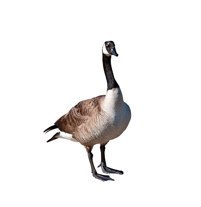 Canada goose closeup cutout isolated on a white background