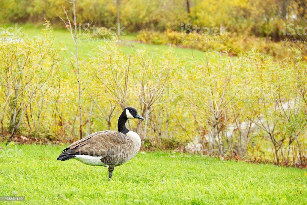 Canada Goose enjoying a Rainy autumn day royalty-free stock photo