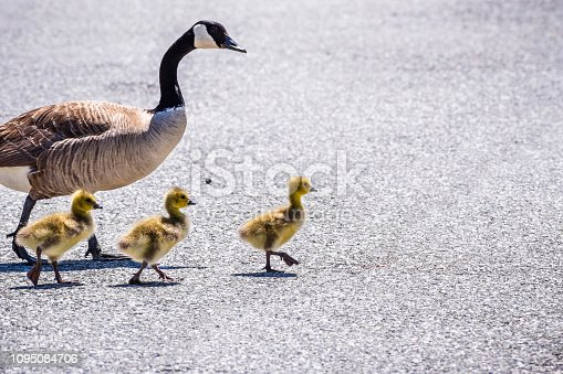 A Canada Goose (Branta canadensis) family (adult goose and three new born chicks) crossing a street, San Francisco bay area, California