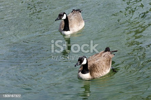 A family of Canada geese ready for nesting in the spring on the water