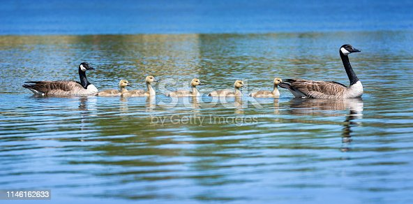 Canada goose (Branta canadensis) family with adorable goslings swimming in a lake