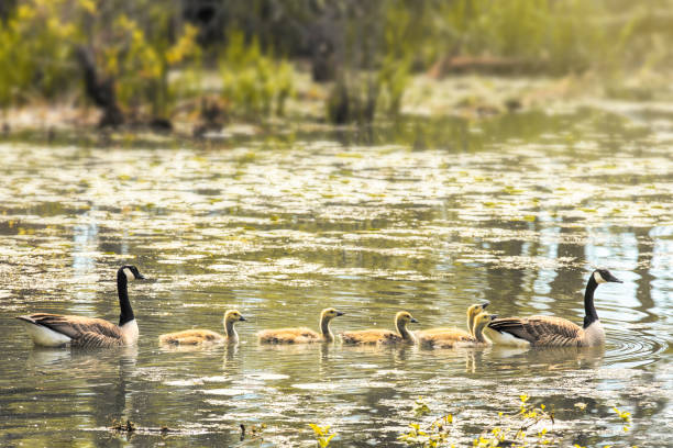 Canada Goose Family Swimming in Pond An adorable Canada goose family taking a swim together in a pond. sdominick stock pictures, royalty-free photos & images