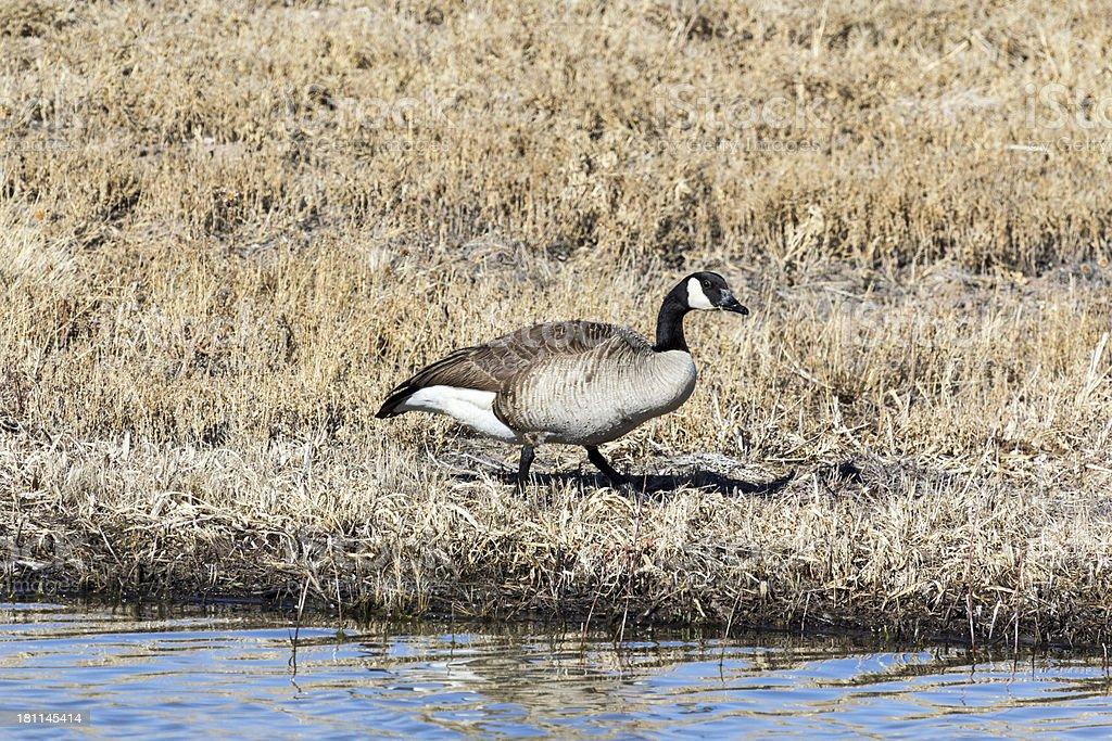 Canada Goose feeding stock photo