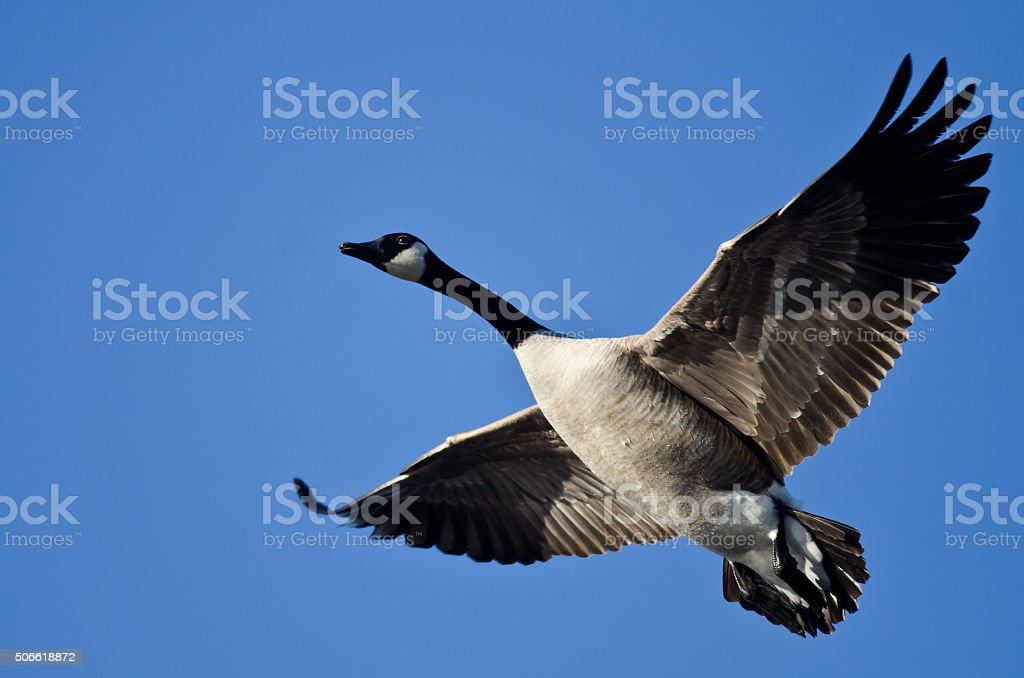 Bernache du Canada voler dans un ciel bleu - Photo