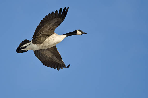 Canada Goose Flying in a Blue Sky Canada Goose Flying in a Blue Sky canada goose stock pictures, royalty-free photos & images