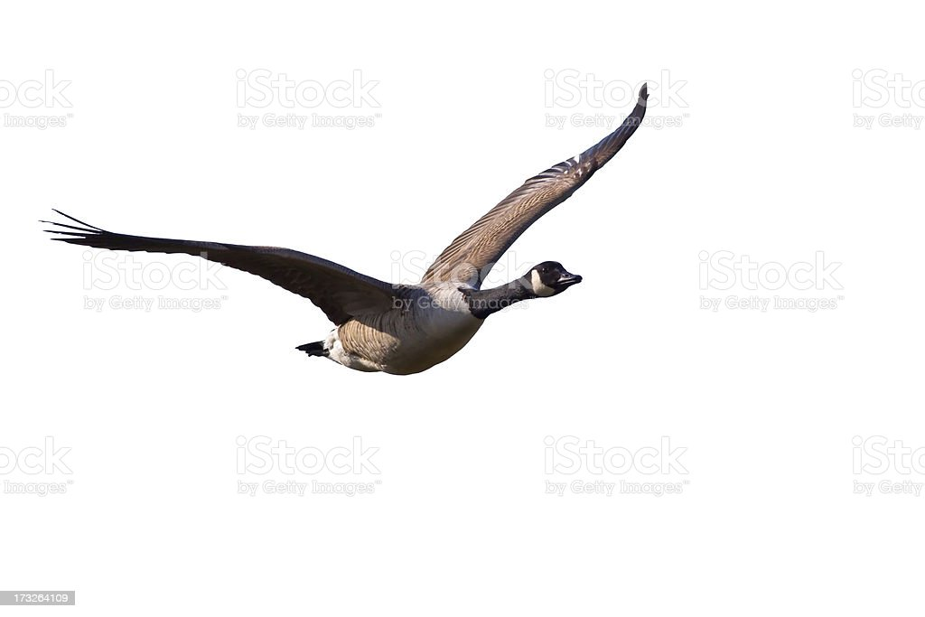 A Canada Goose flying in the sky stock photo